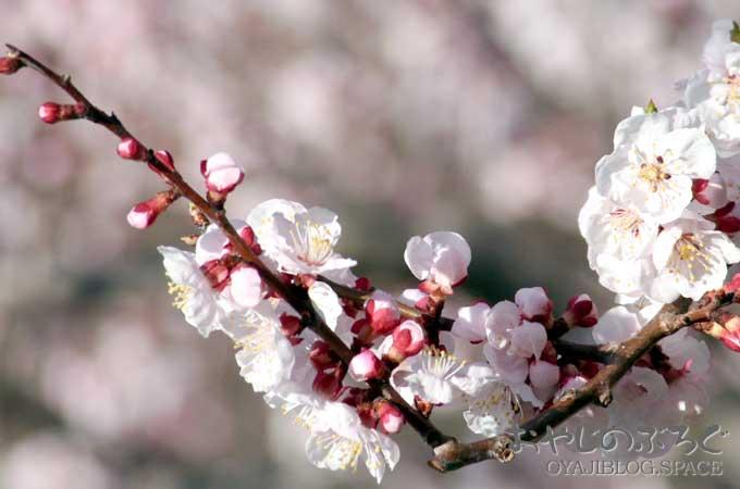 今年の千曲市森地区のあんずの開花の予想は4月6日辺りだそうですが