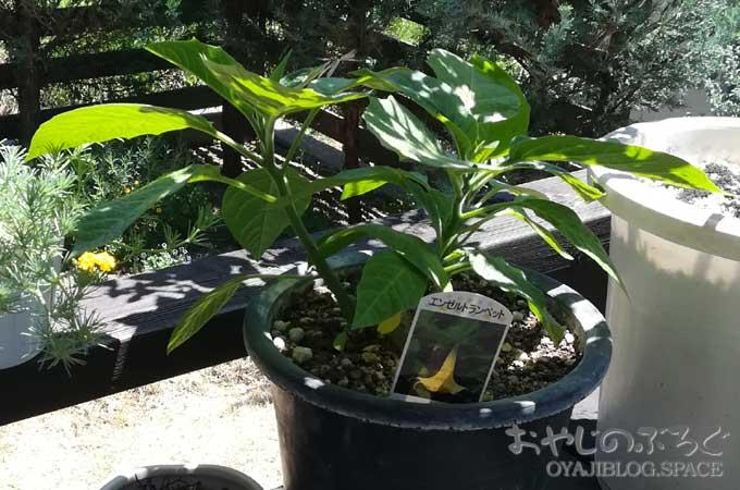 庭いじりの日:ロータス・ベルテロティーとエンジェルストランペット