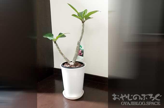 プルメリア エルシーという熱帯植物!栽培難易度は初級・中級者向け