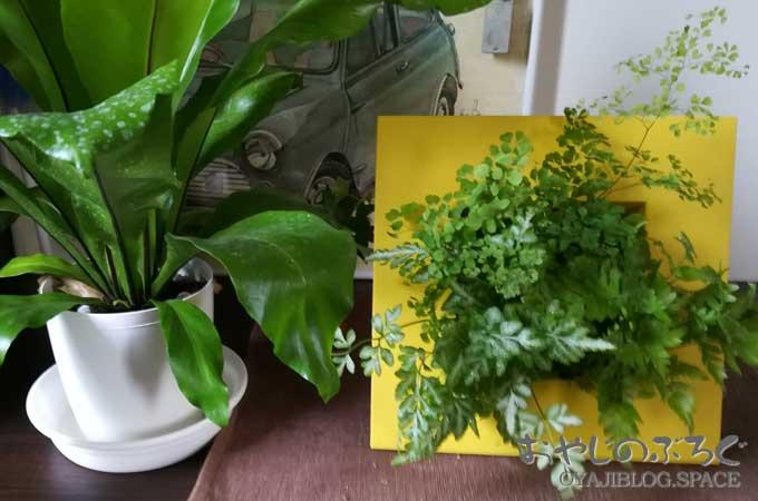 今日のおやじの園芸、立て掛け鉢でシダ植物を寄せ植えしてみた。